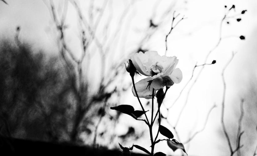 Sista blomman. Foto: Fredrik Storm. Foto: Fredrik Storm